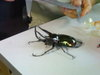 Insects_huge_rinonceros_beetle_0705