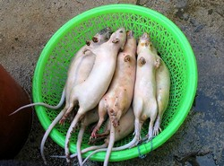 Rats in a basket